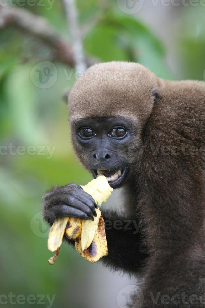 macaco lanoso na amazônia foto