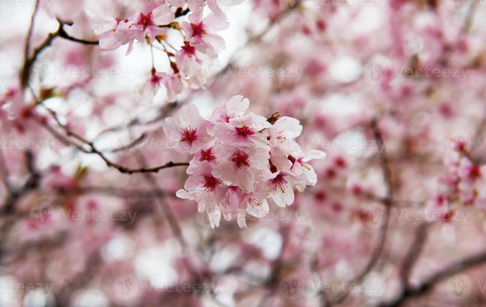 flor de cerejeira em um dia chuvoso foto
