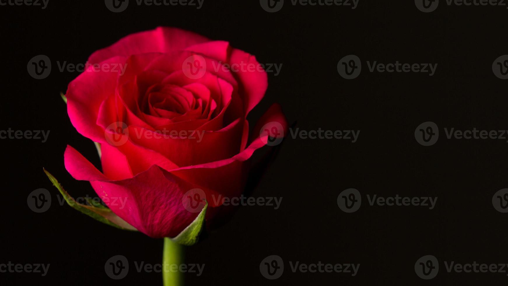 rosa vermelha isolada no preto. simbólico de amor e compaixão foto