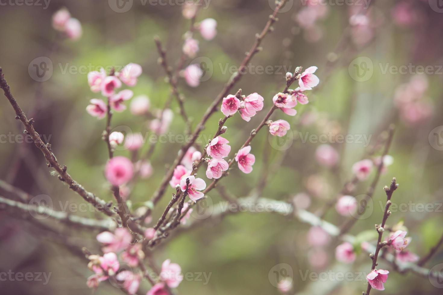 flor de pêssego primavera flor foto