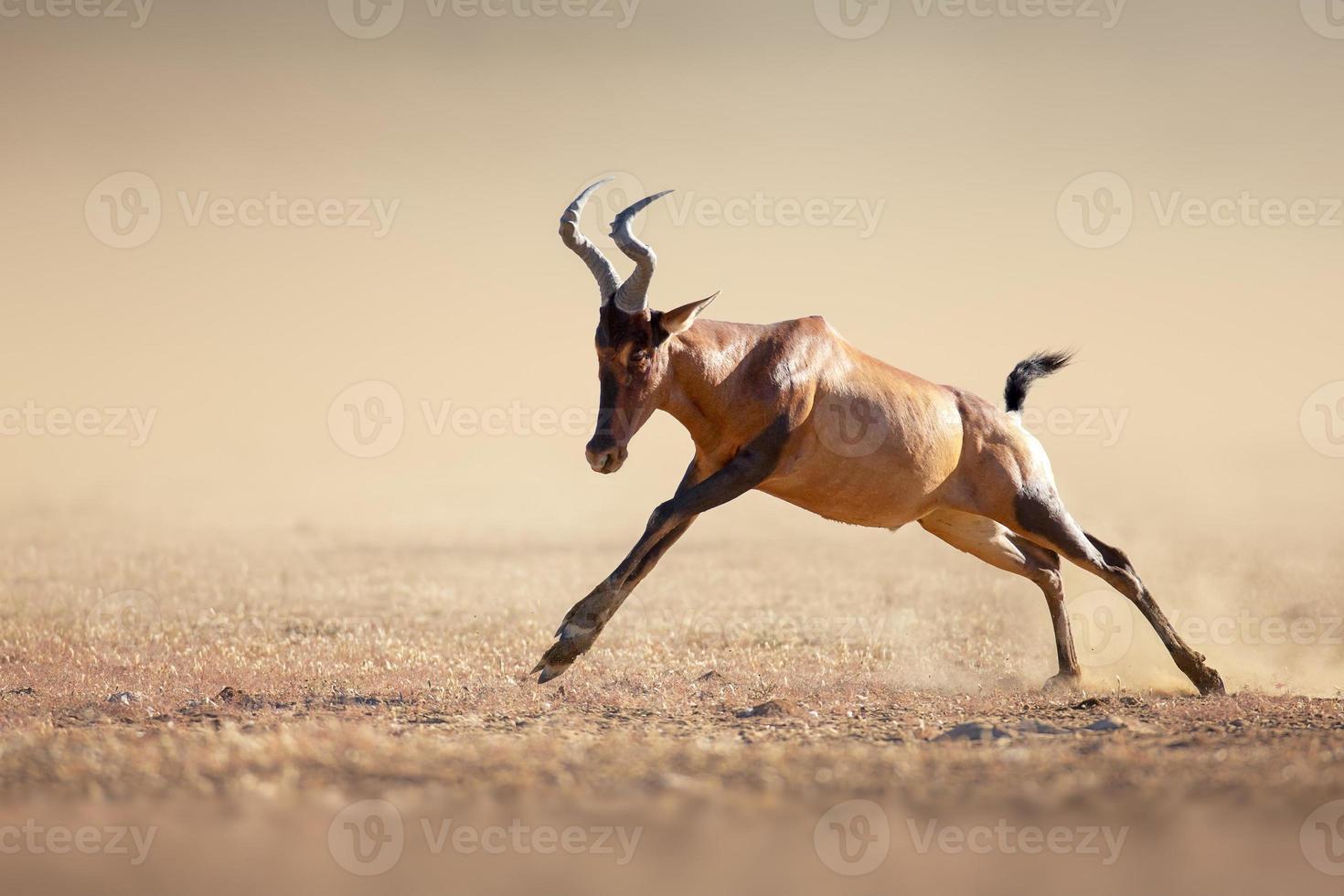 hartebeest vermelho correndo foto