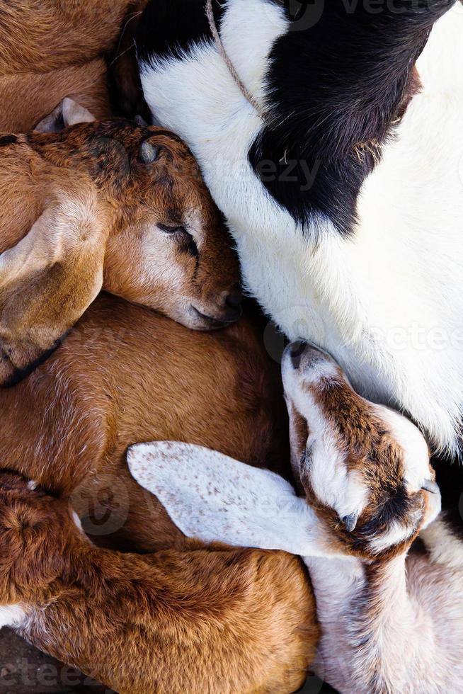 cabra bebê dormir na fazenda foto