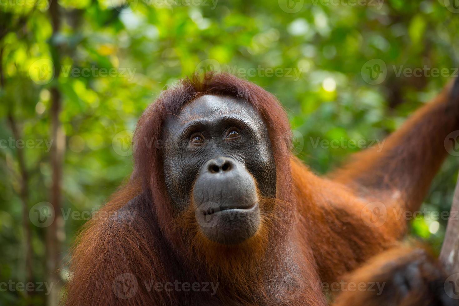 orangotango feminino. foto