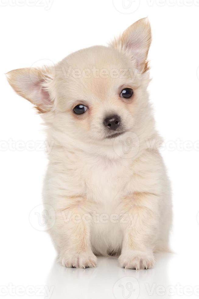 filhote de cachorro chihuahua foto