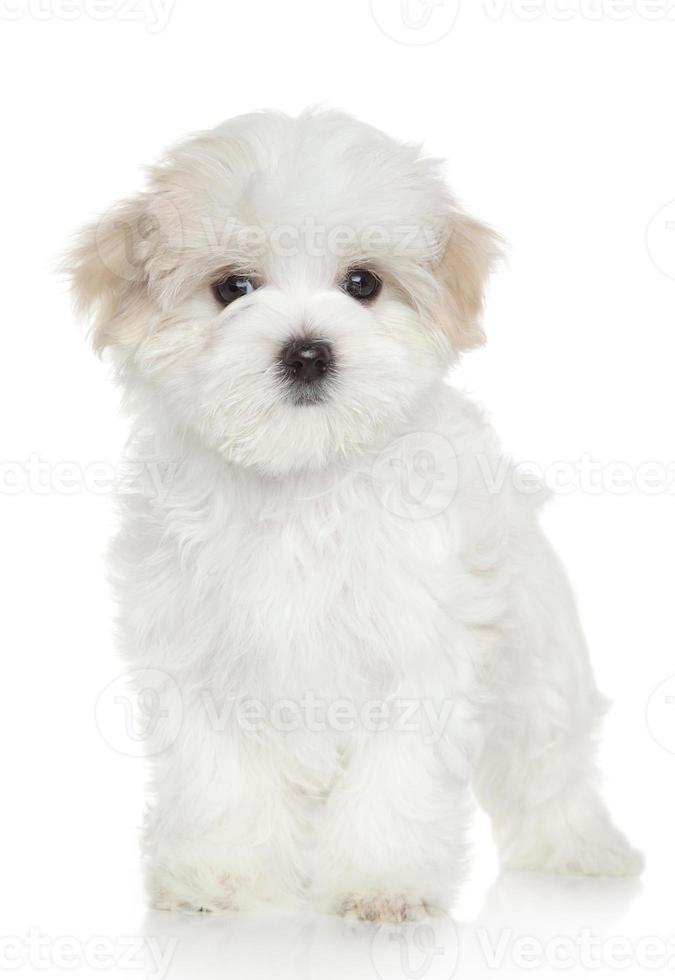 filhote de cachorro maltês foto