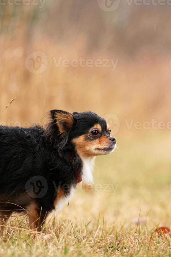 chihuahua ao ar livre foto