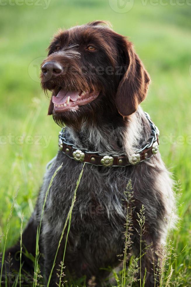 ponteiro de cabelos curtos caça cão raça está sentado foto