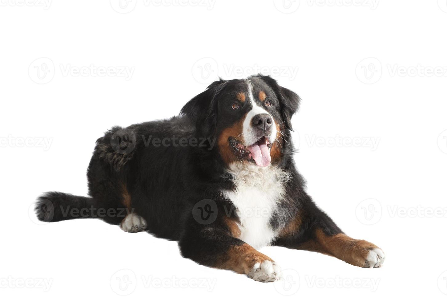 cão de montanha bernese deitado foto