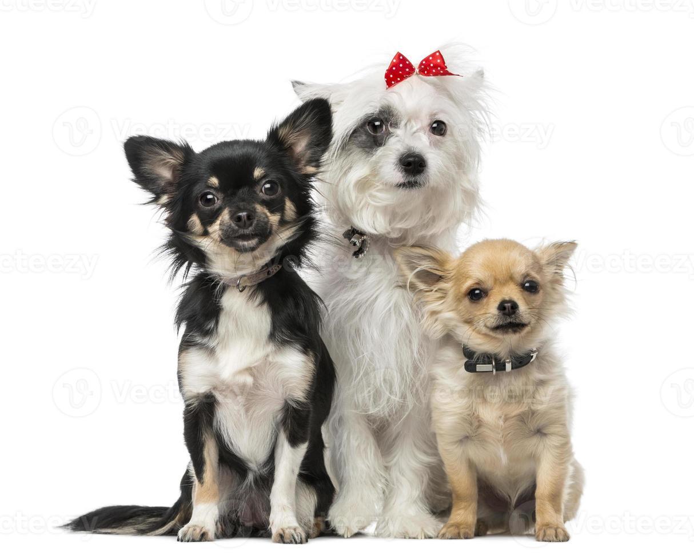 grupo de cachorro mestiços e chihuahuas foto