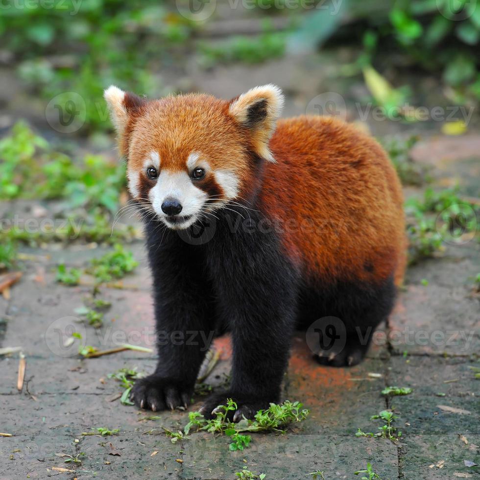 urso panda vermelho foto