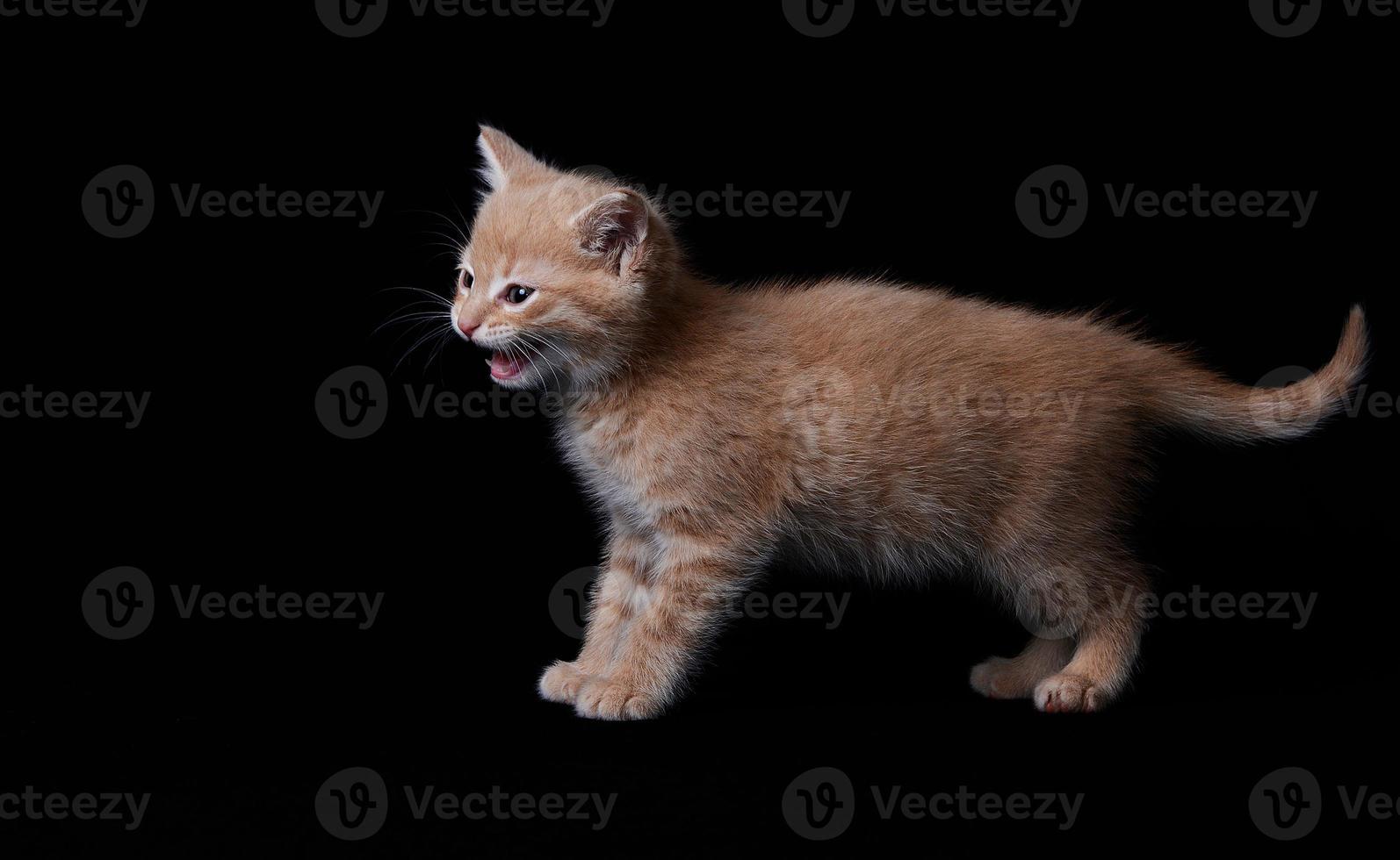 chaton roux tigré sur fond noir qui miaule foto