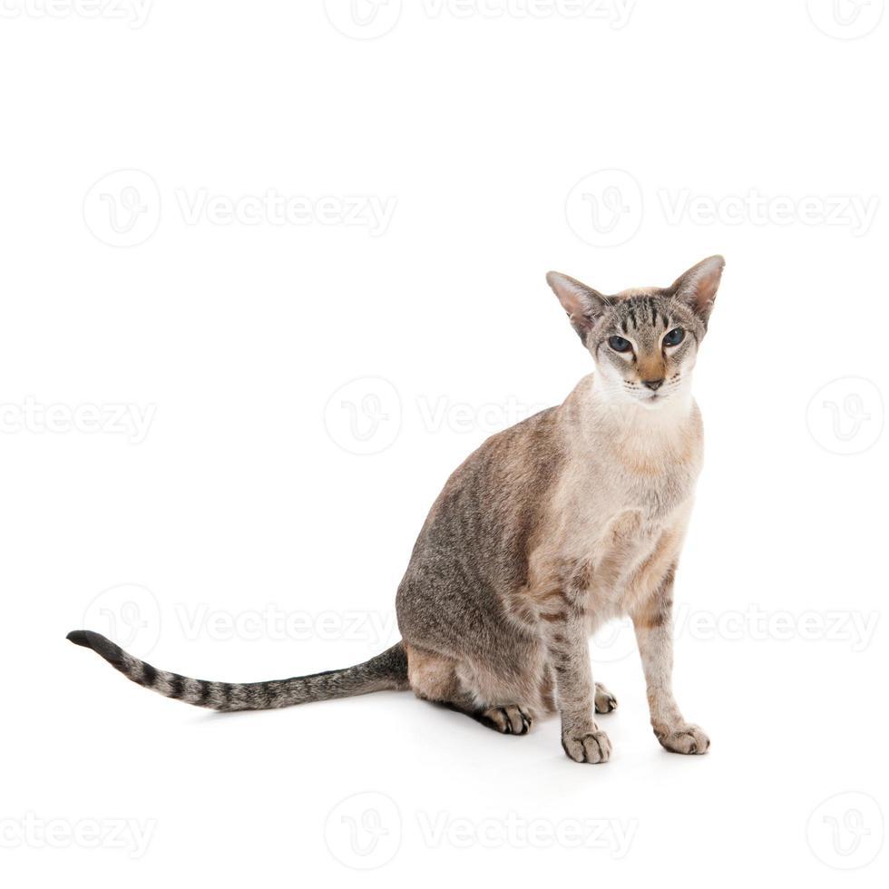 gato siamês de gato malhado do selo foto
