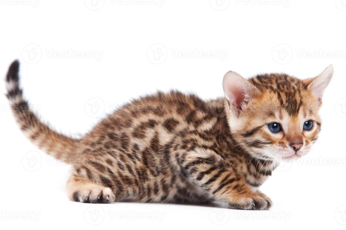 gato de Bengala no fundo branco foto