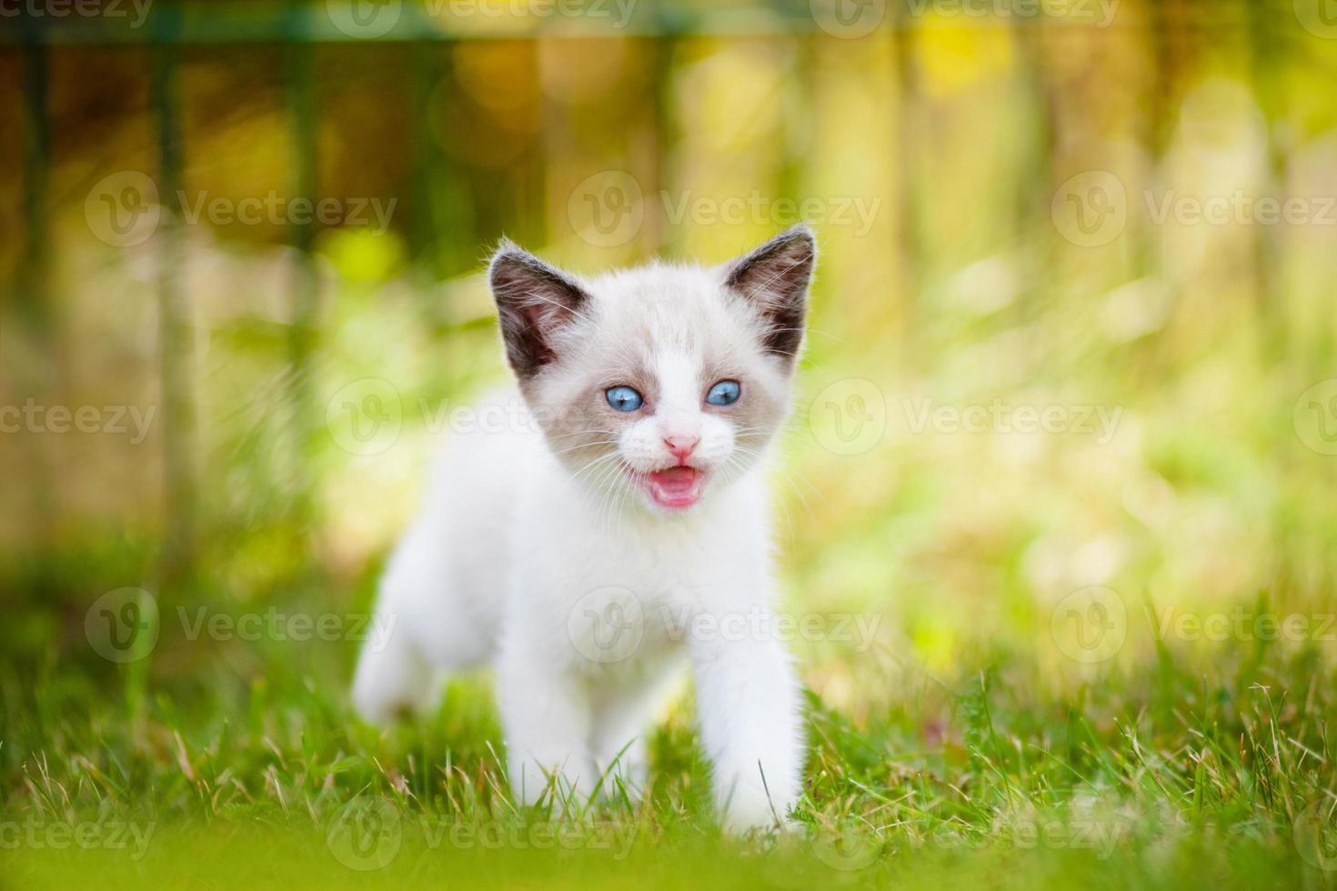 gatinho siamês ao ar livre foto