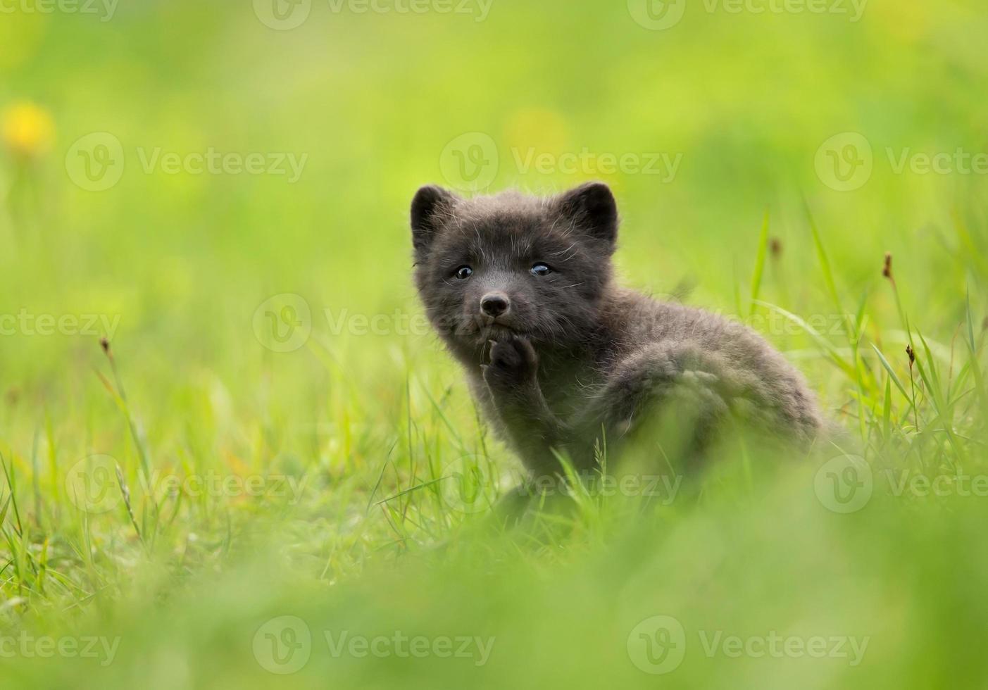 raposa do ártico vulpes lagopus filhote foto