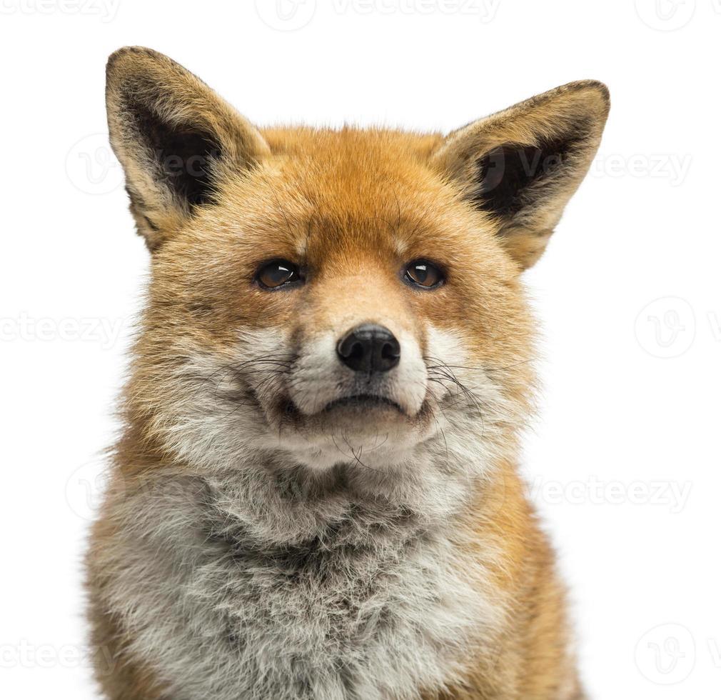 close-up de uma raposa vermelha, vulpes, isolado no branco foto