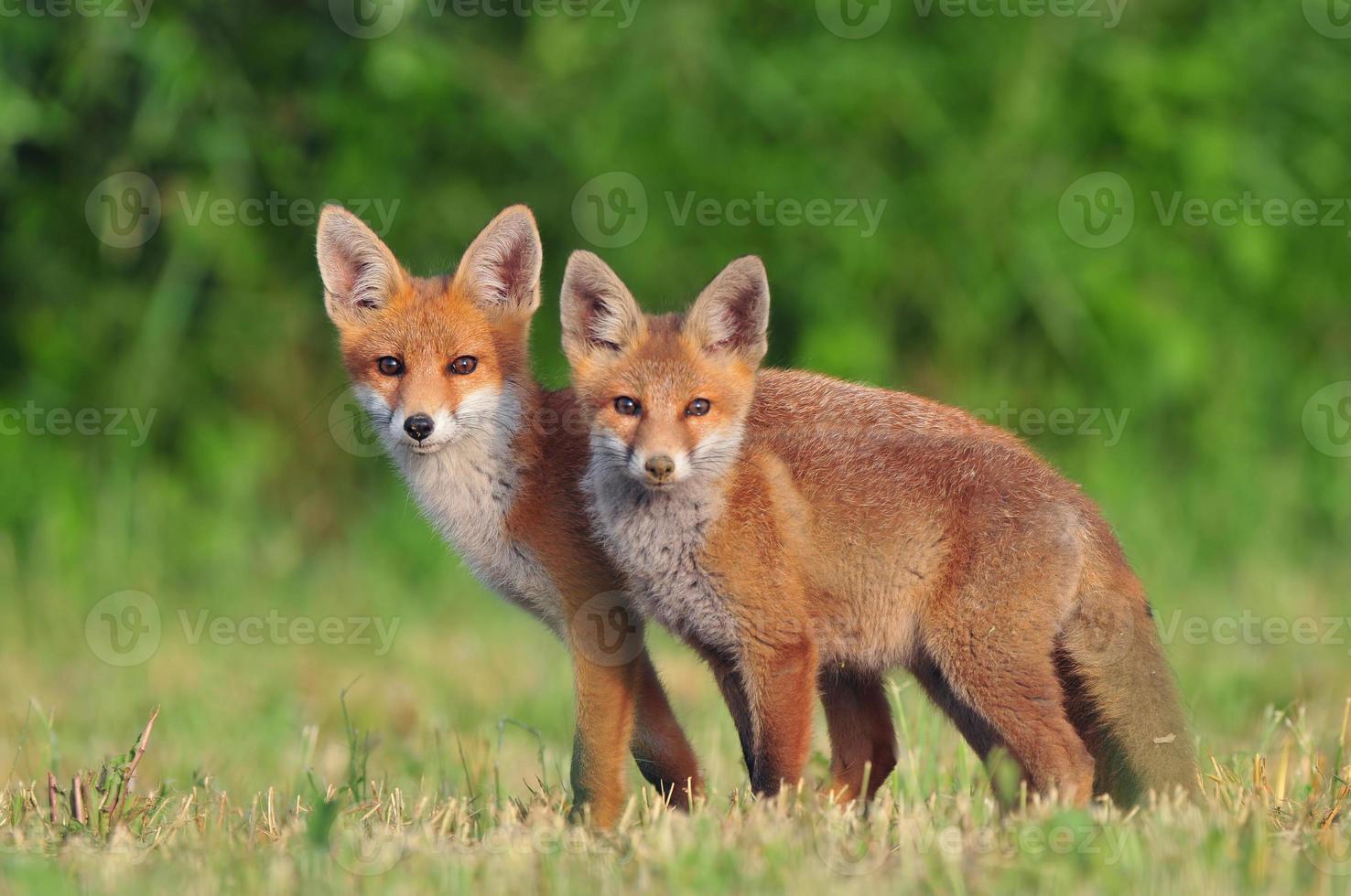 duas raposas vermelhas foto