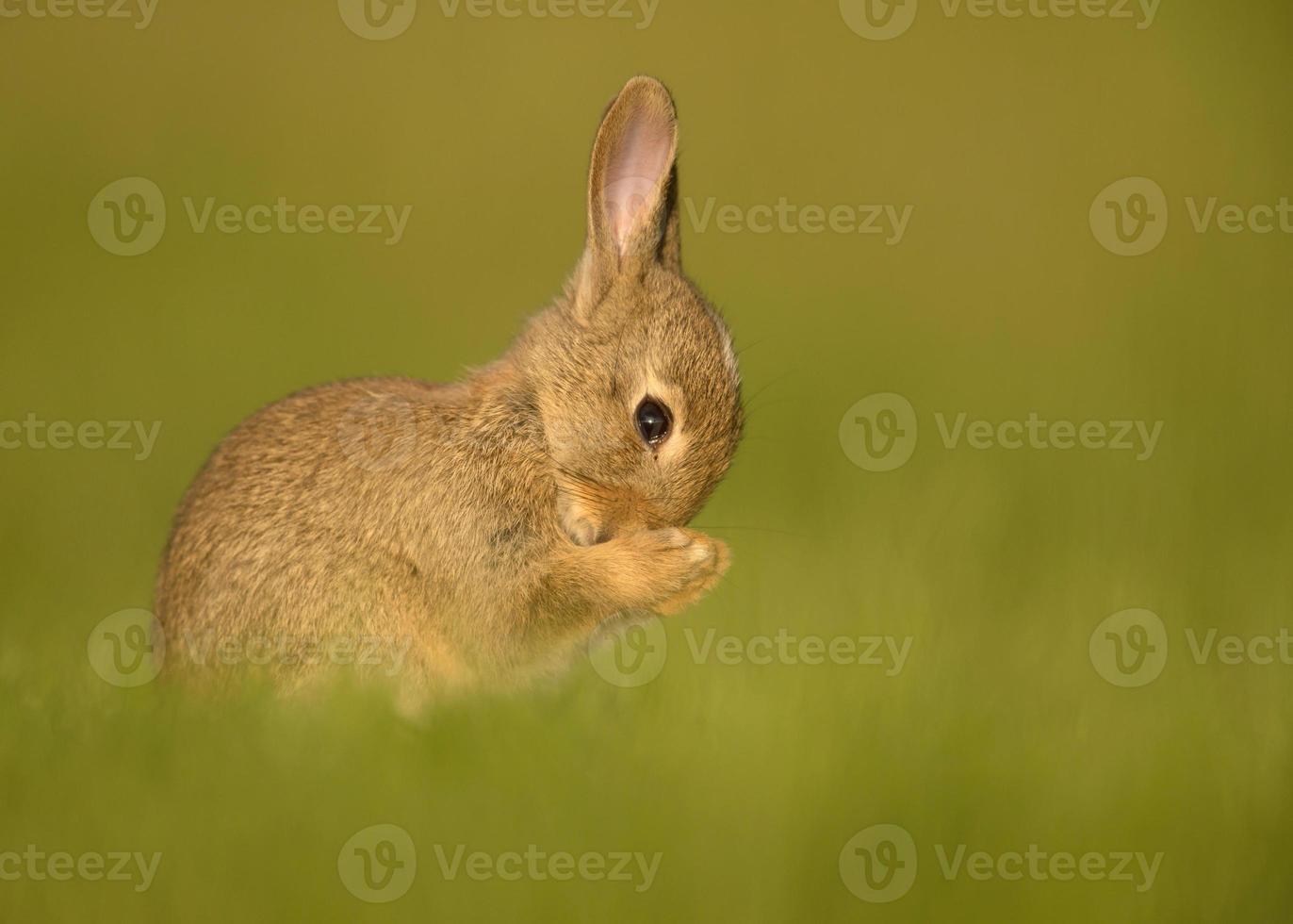 orando coelho juvenil europeu (oryctolagus cuniculus) foto