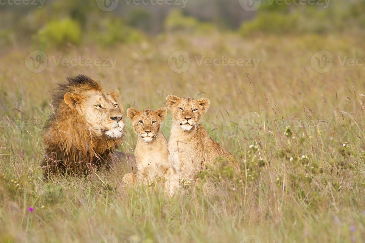 pai e filhotes de leão jovens foto