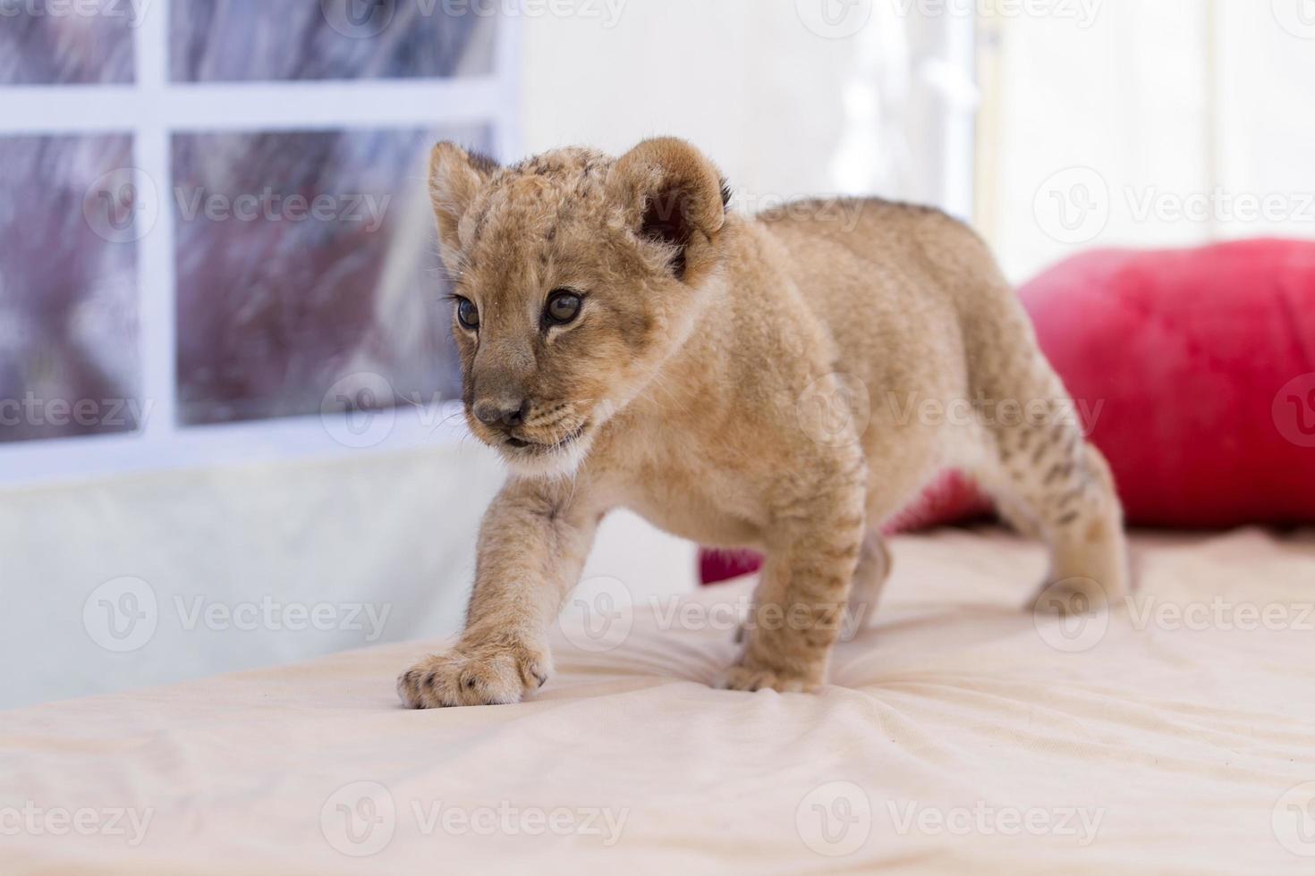 filhote de leão pequeno bonito foto