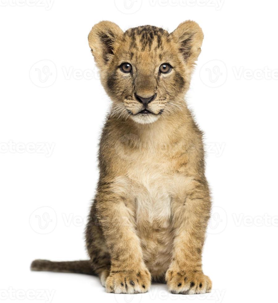 filhote de leão sentado, olhando para a câmera, 10 semanas de idade foto