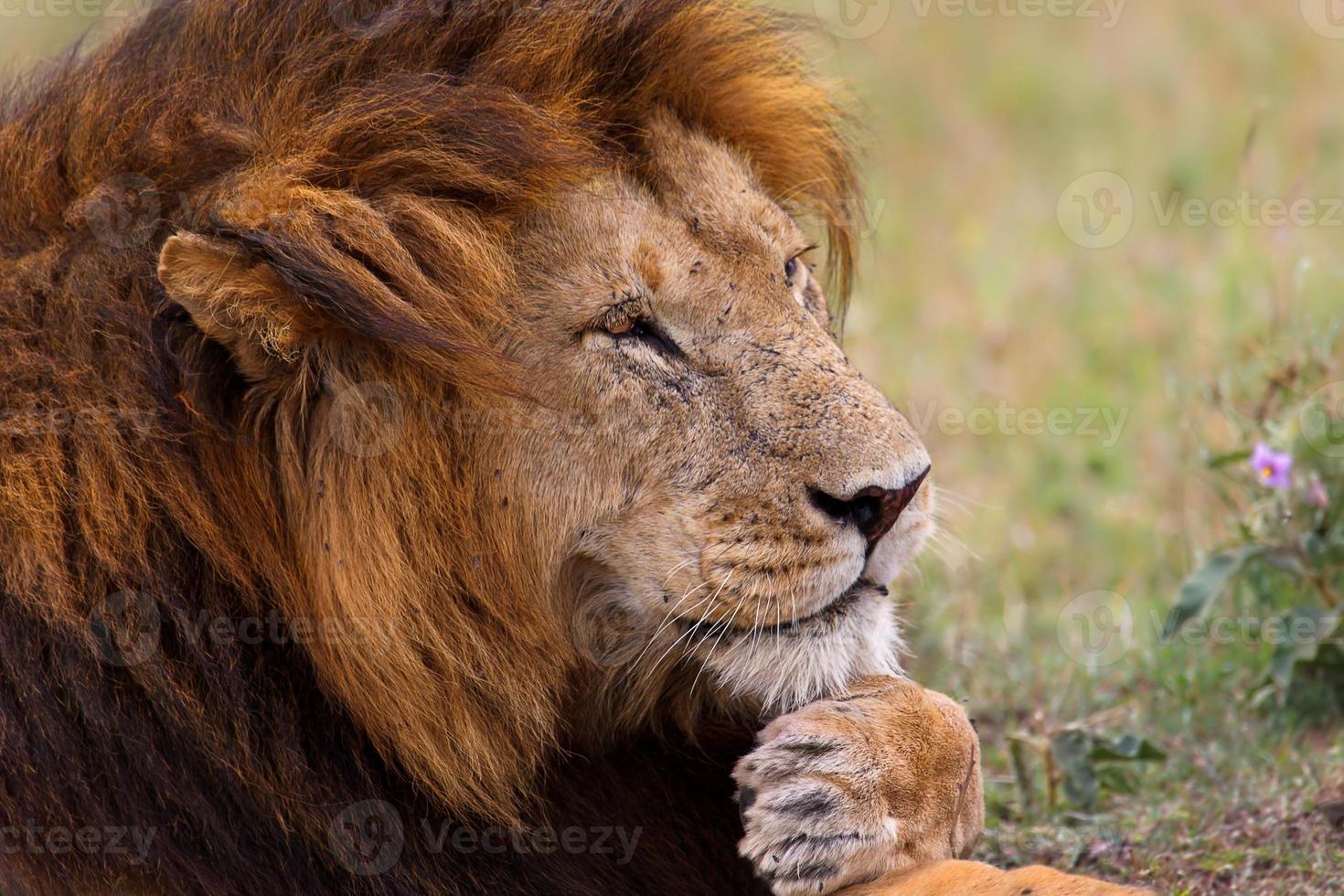 retrato de um leão africano em masai mara, quênia foto