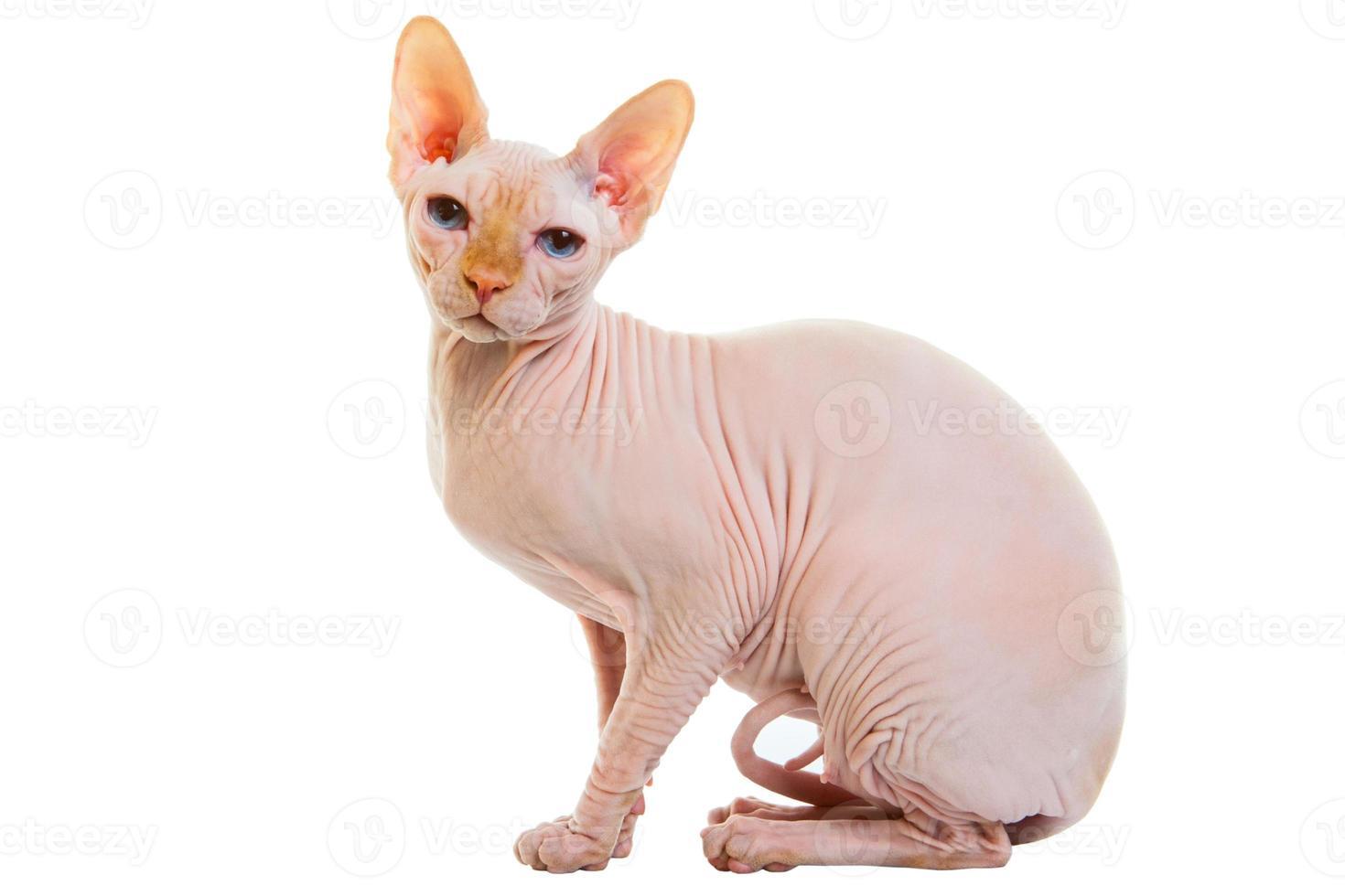gato sem pêlos sphynx foto