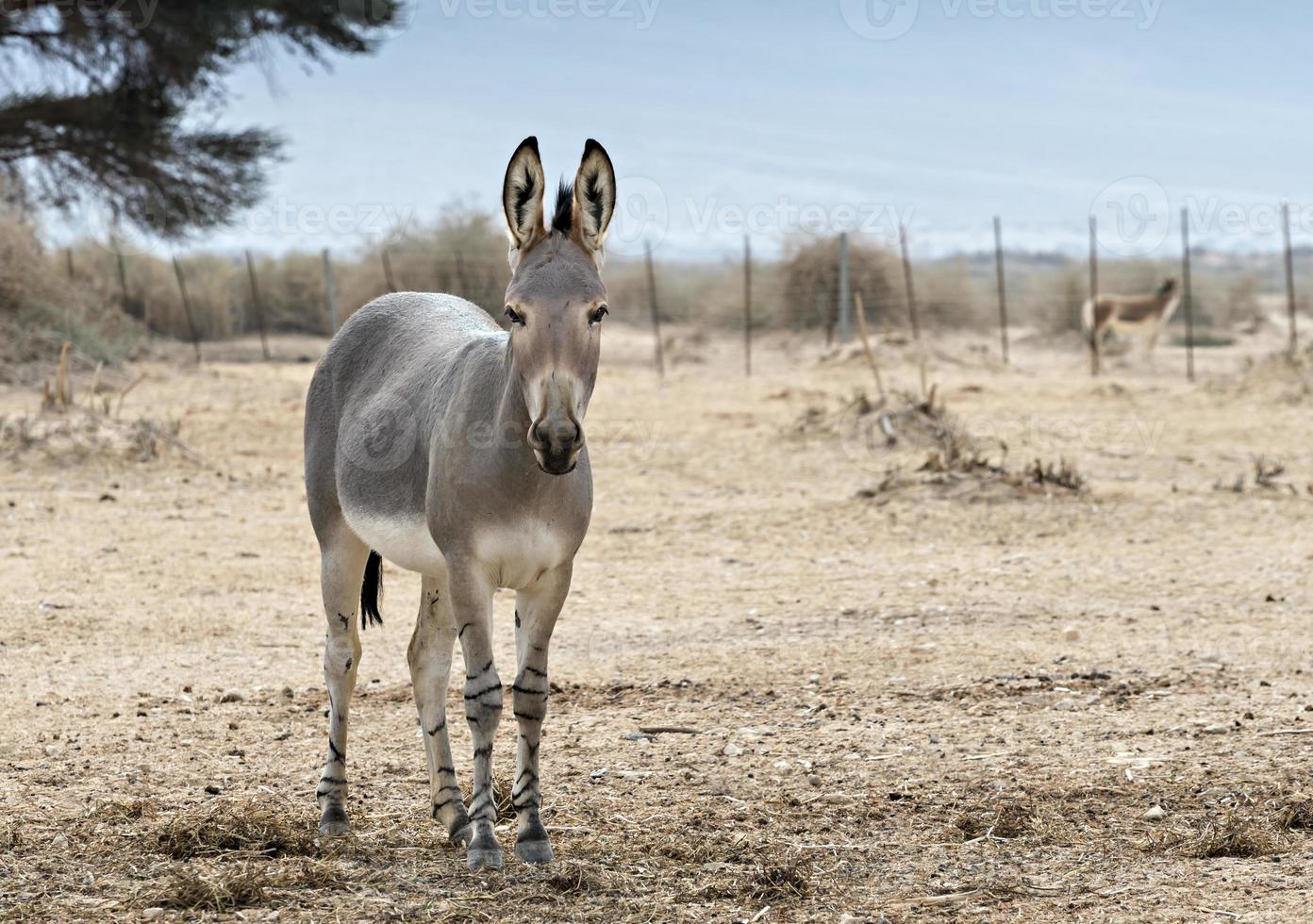 burro selvagem somaliano (equus africanus) na reserva natural israelense foto