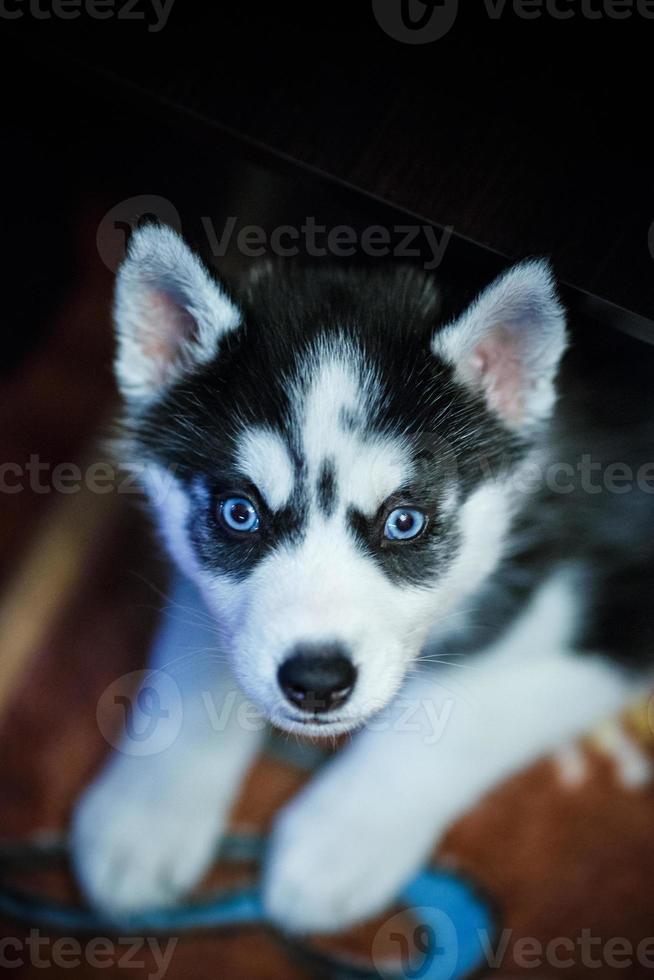 filhote de cachorro husky siberiano foto