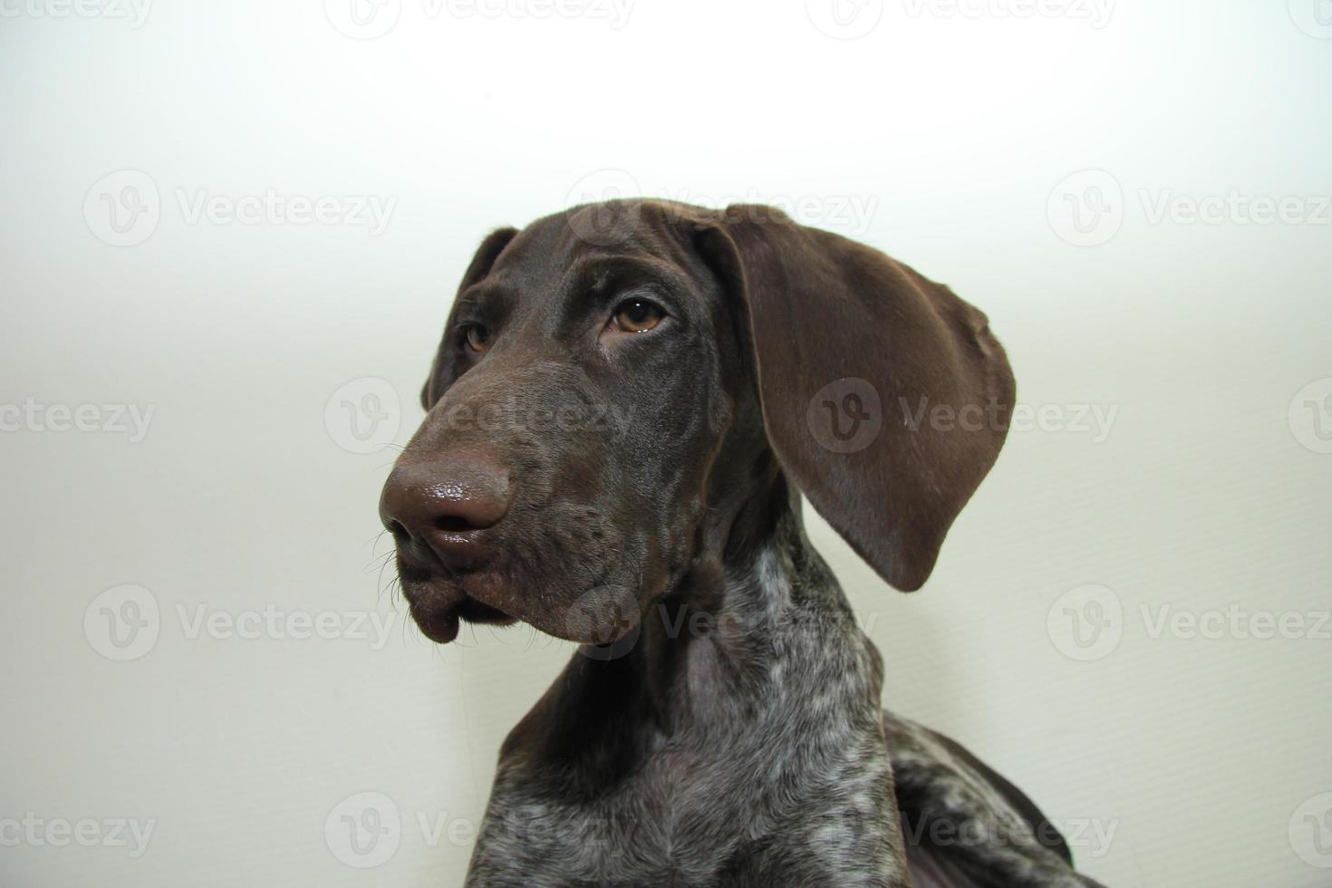 filhote de cachorro ponteiro alemão de cabelos curtos foto