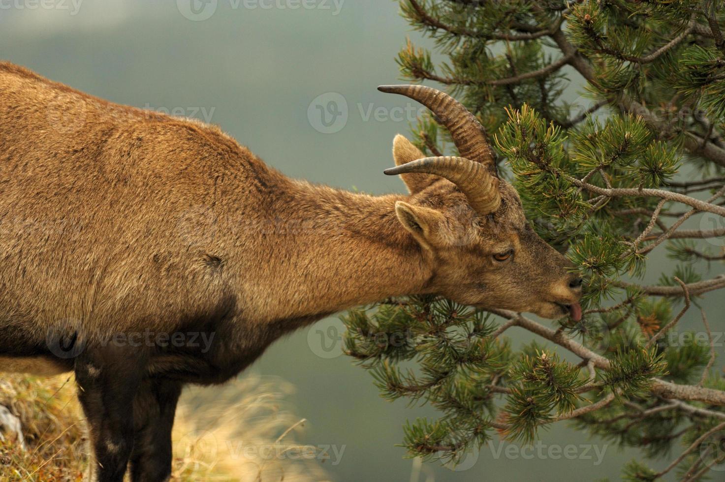 ibex - bouquetin foto