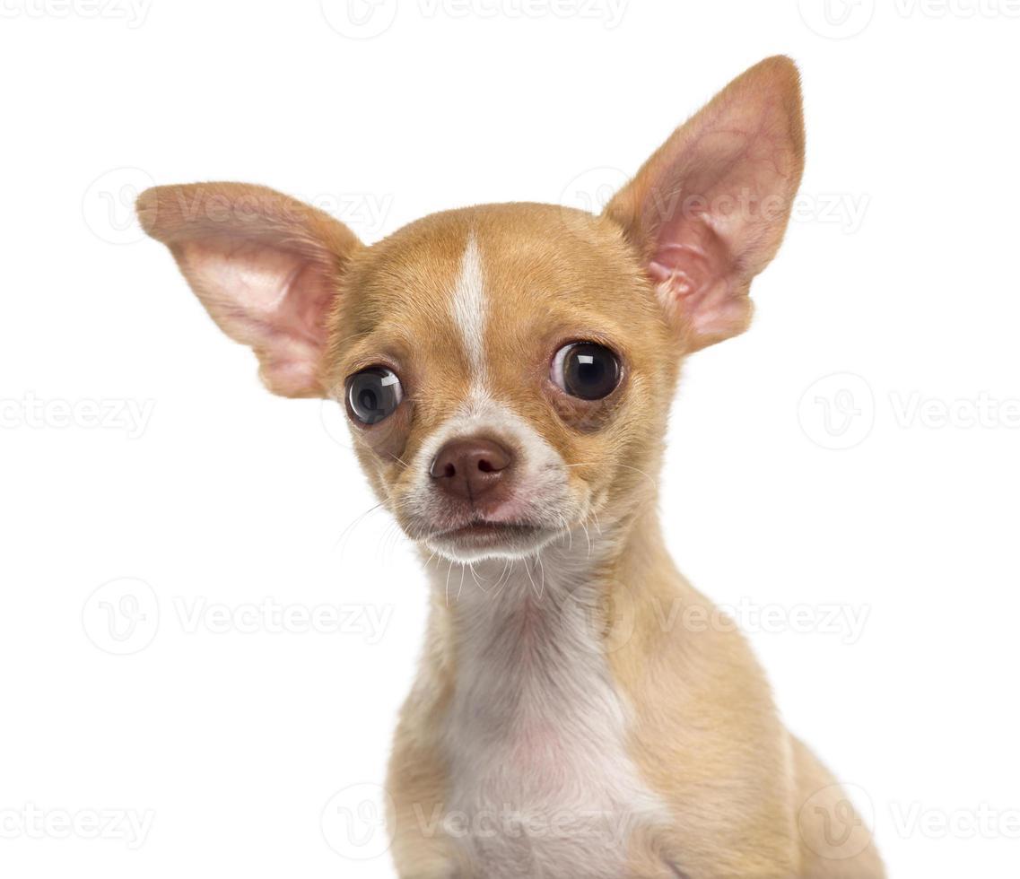 tiro na cabeça de um cachorro chihuahua (3 meses) foto