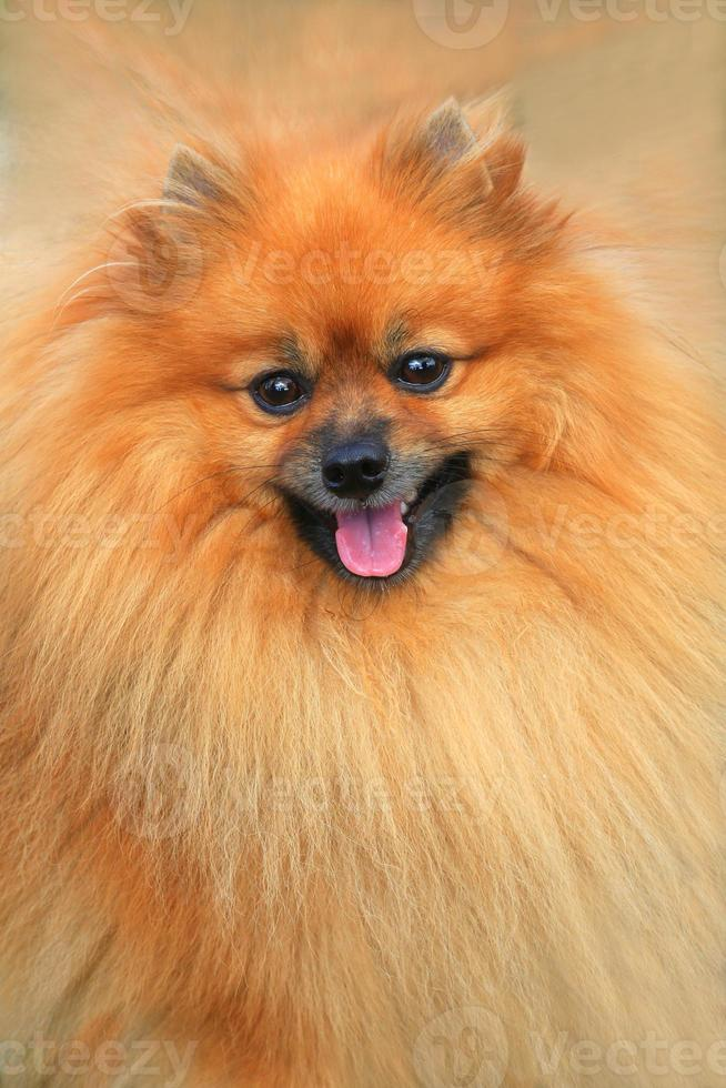 cão pomeranian foto
