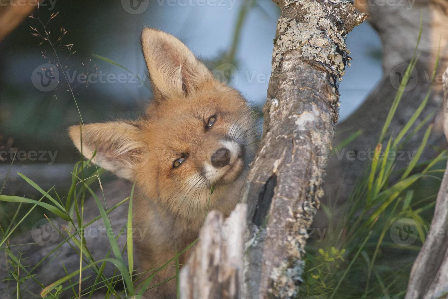 filhote de raposa foto