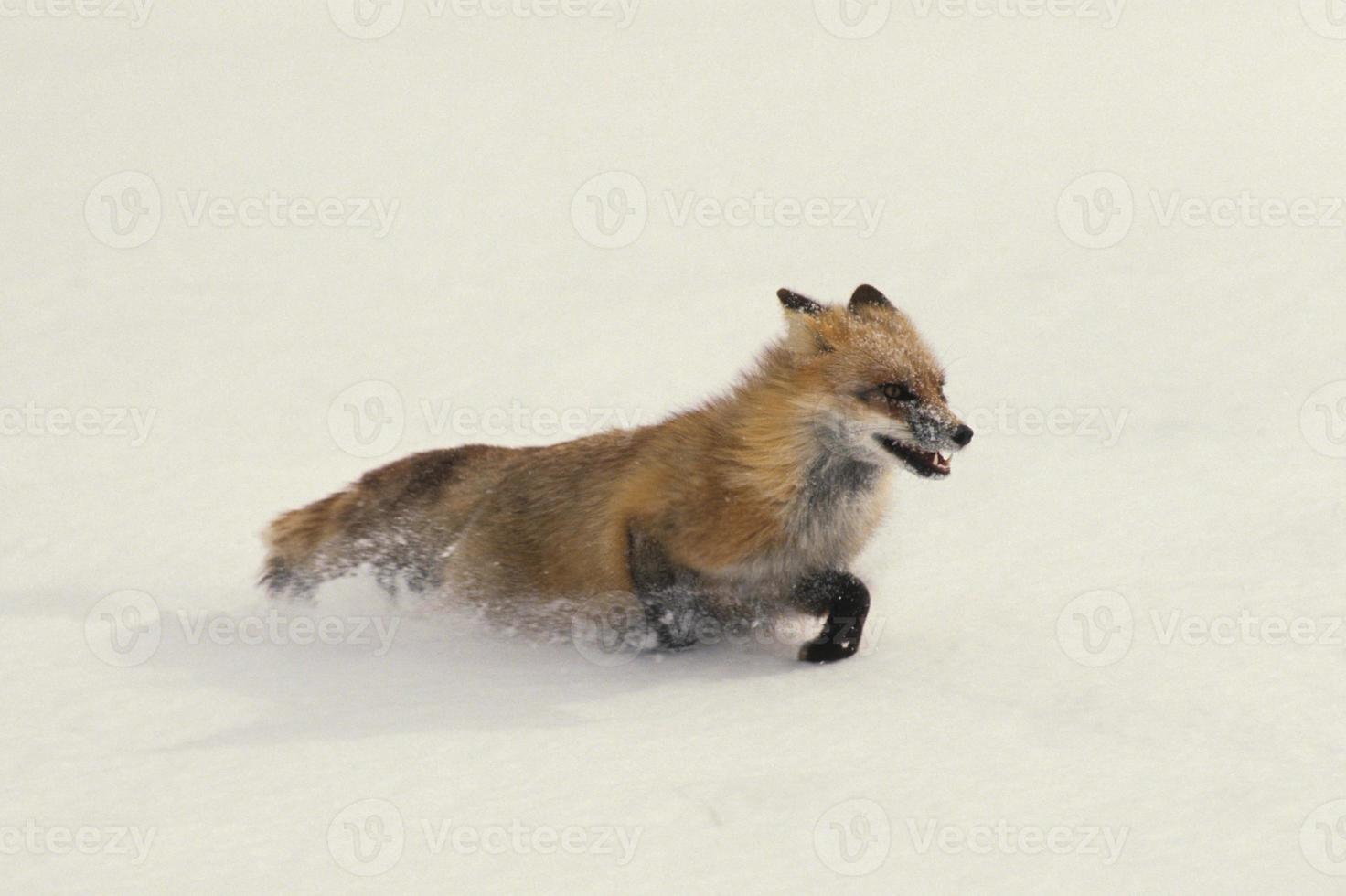 raposa vermelha correndo na neve foto