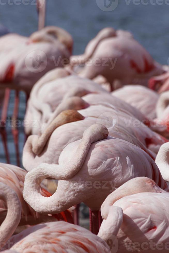flamingos cor de rosa foto