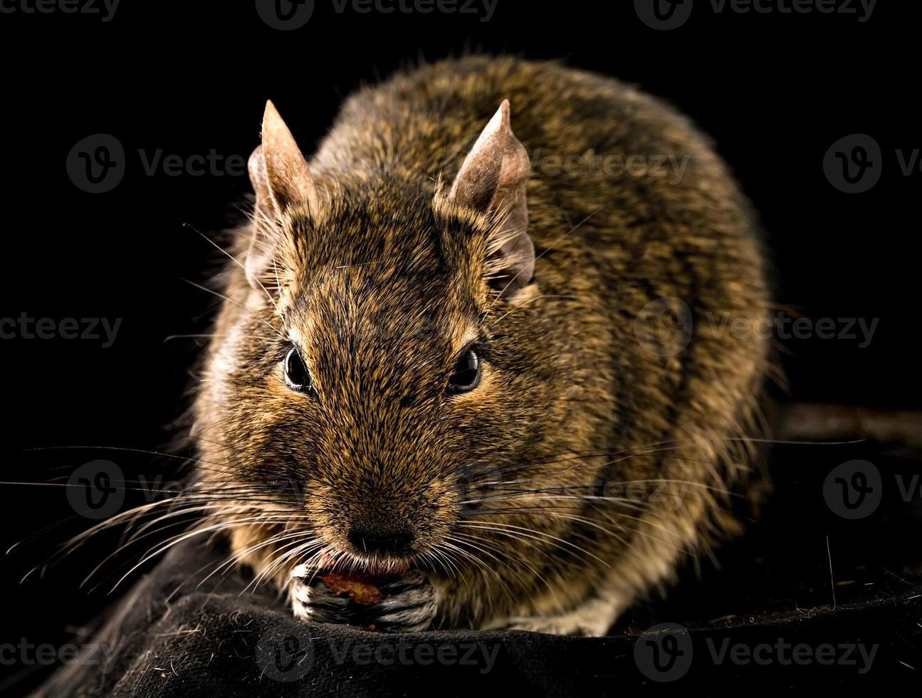 pequeno roedor de mastigação foto