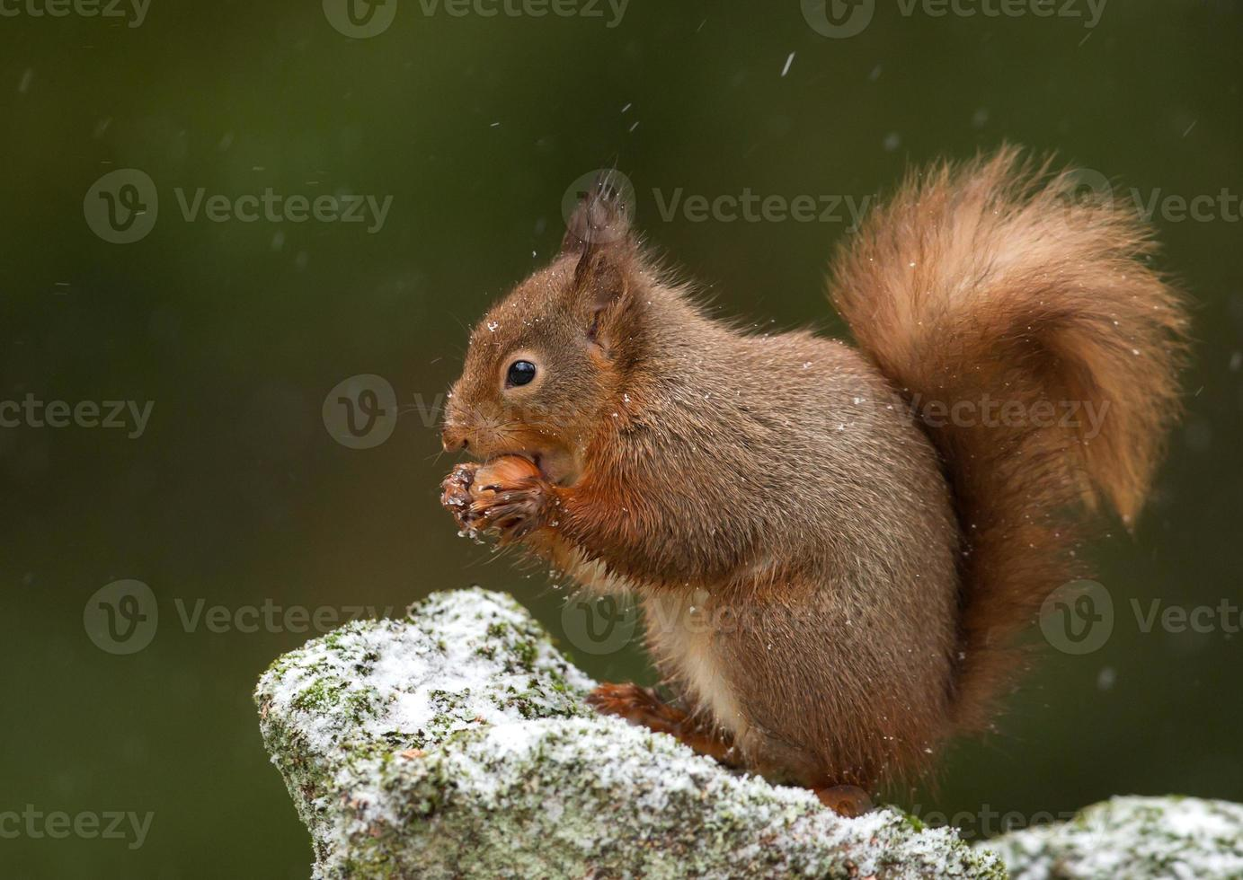 esquilo vermelho (sciurus vulgaris) foto