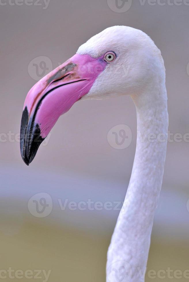 tête de flamant rose foto