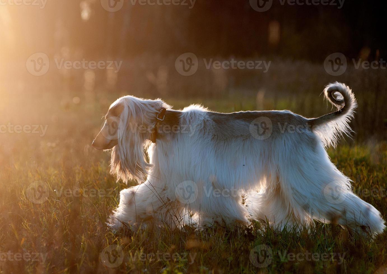 silhueta de cachorro afegão foto