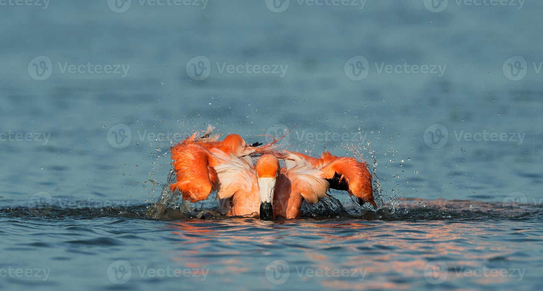 banho de flamingo caribenho foto
