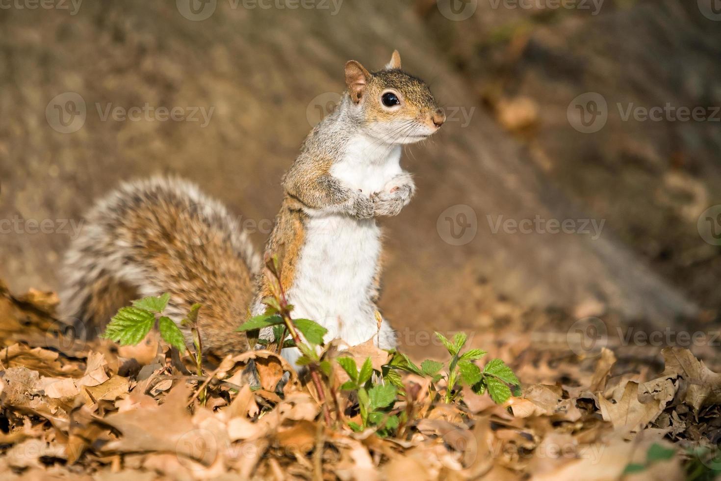 esquilo cinzento no parque foto