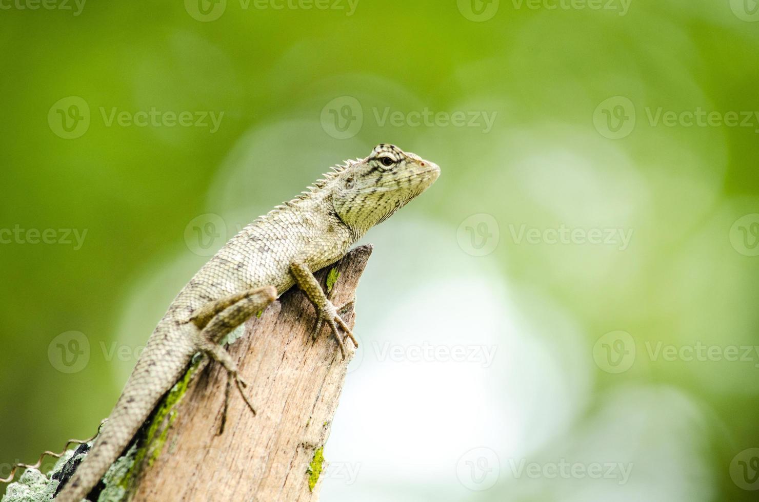 calotes emma alticristatus é spcies nome de réptil foto