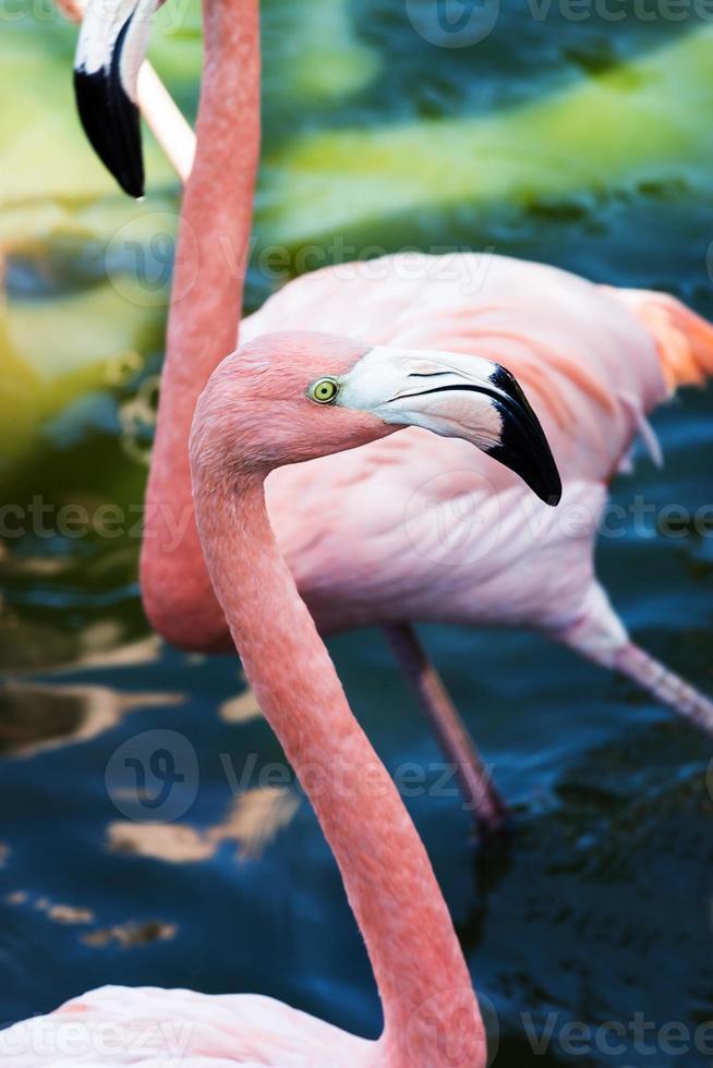 close-up cabeça flamingo foto