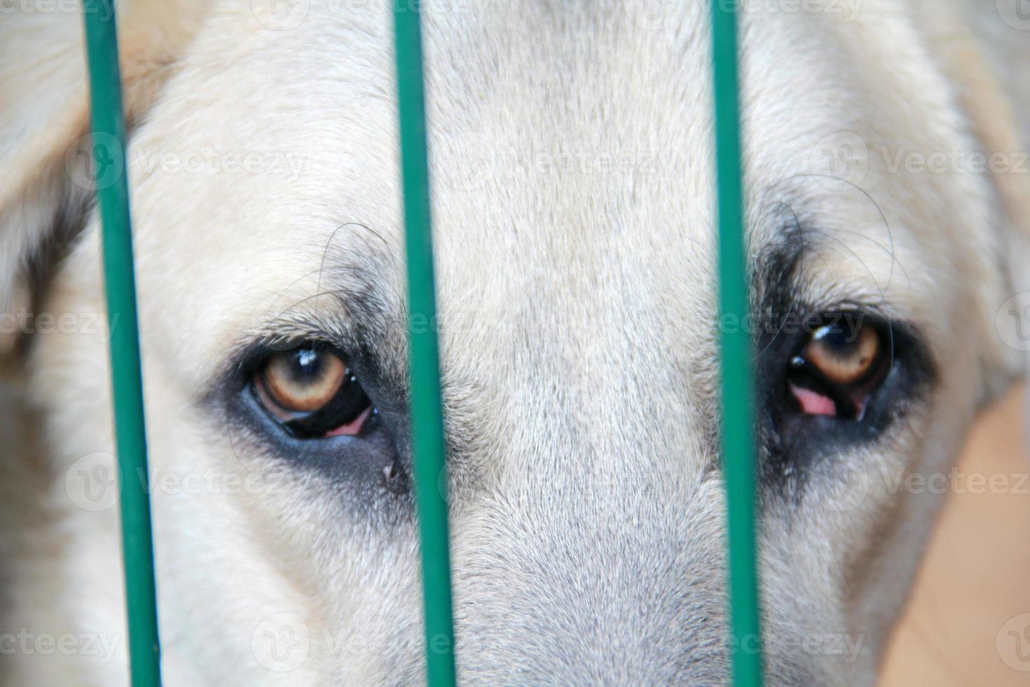 cachorro chorando em cativeiro foto
