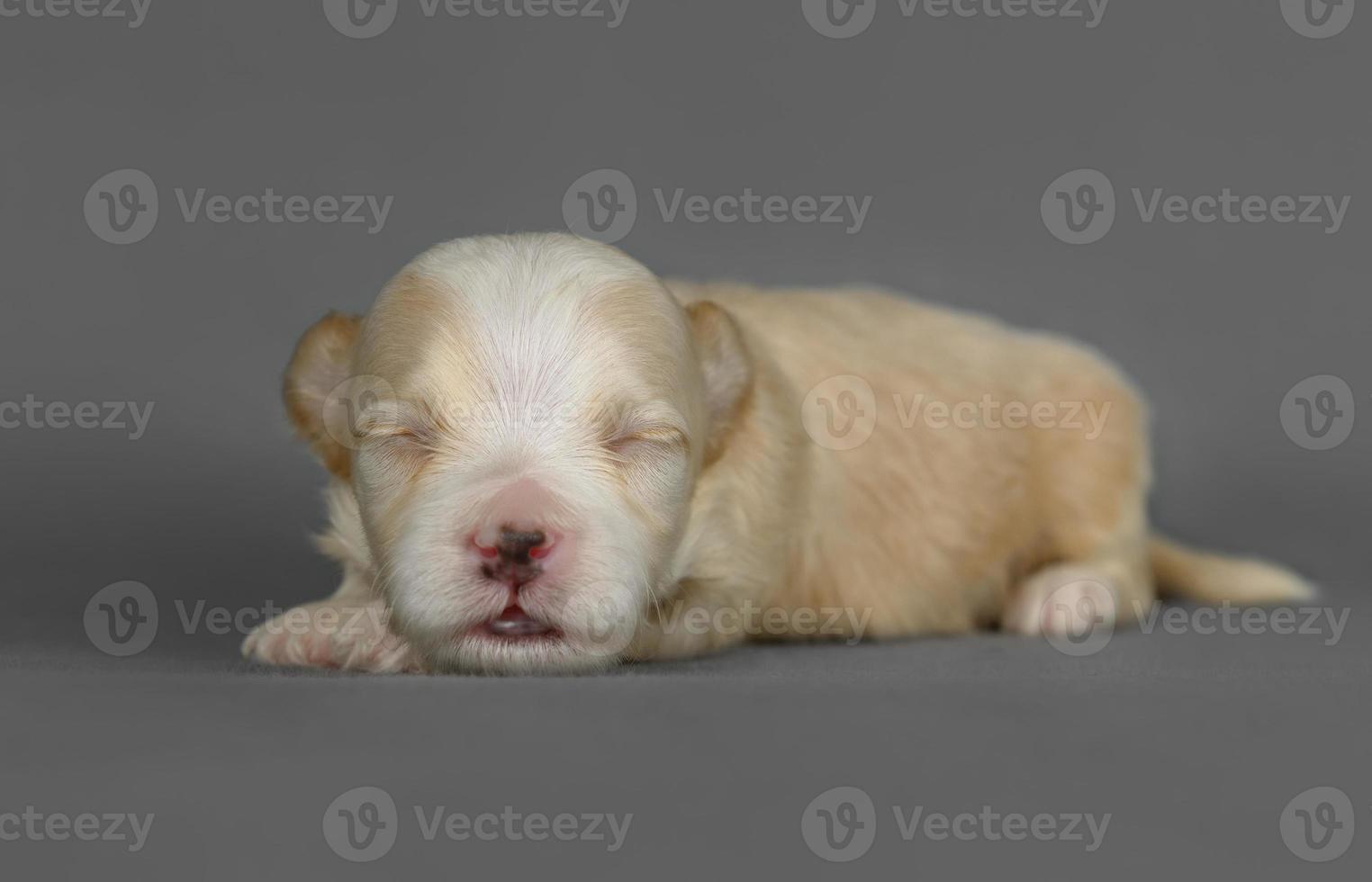 filhote de cachorro bonito bichon havanese pura raça foto