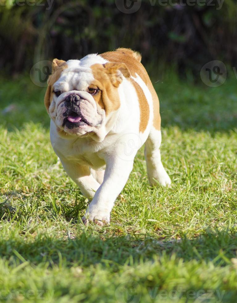 Bulldog inglês foto