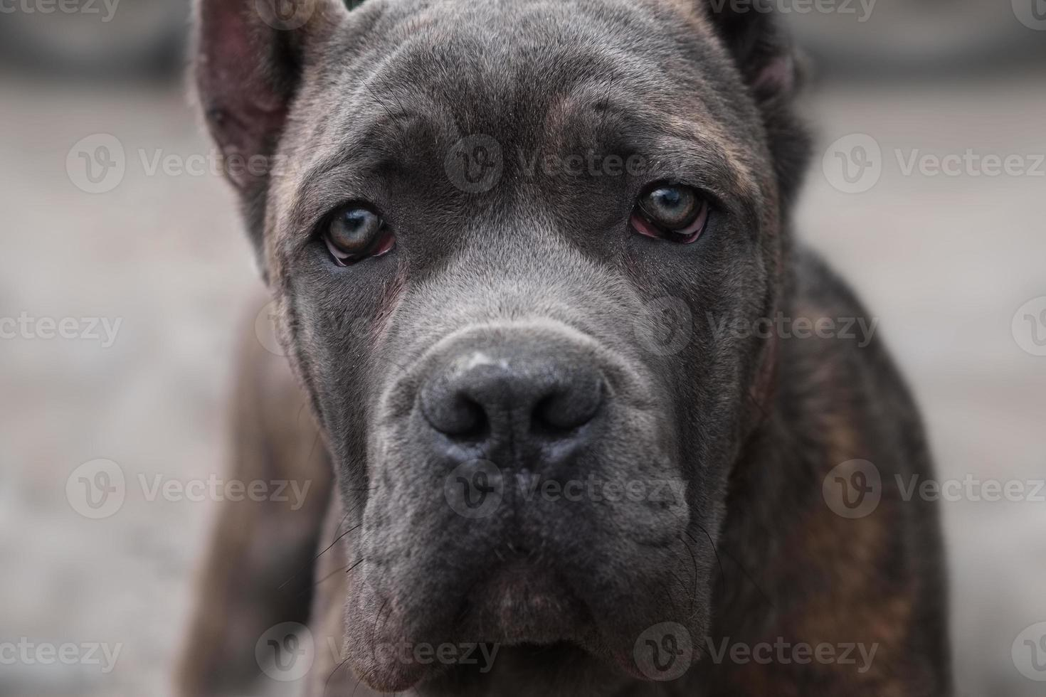cane corso olha diretamente para a câmera foto