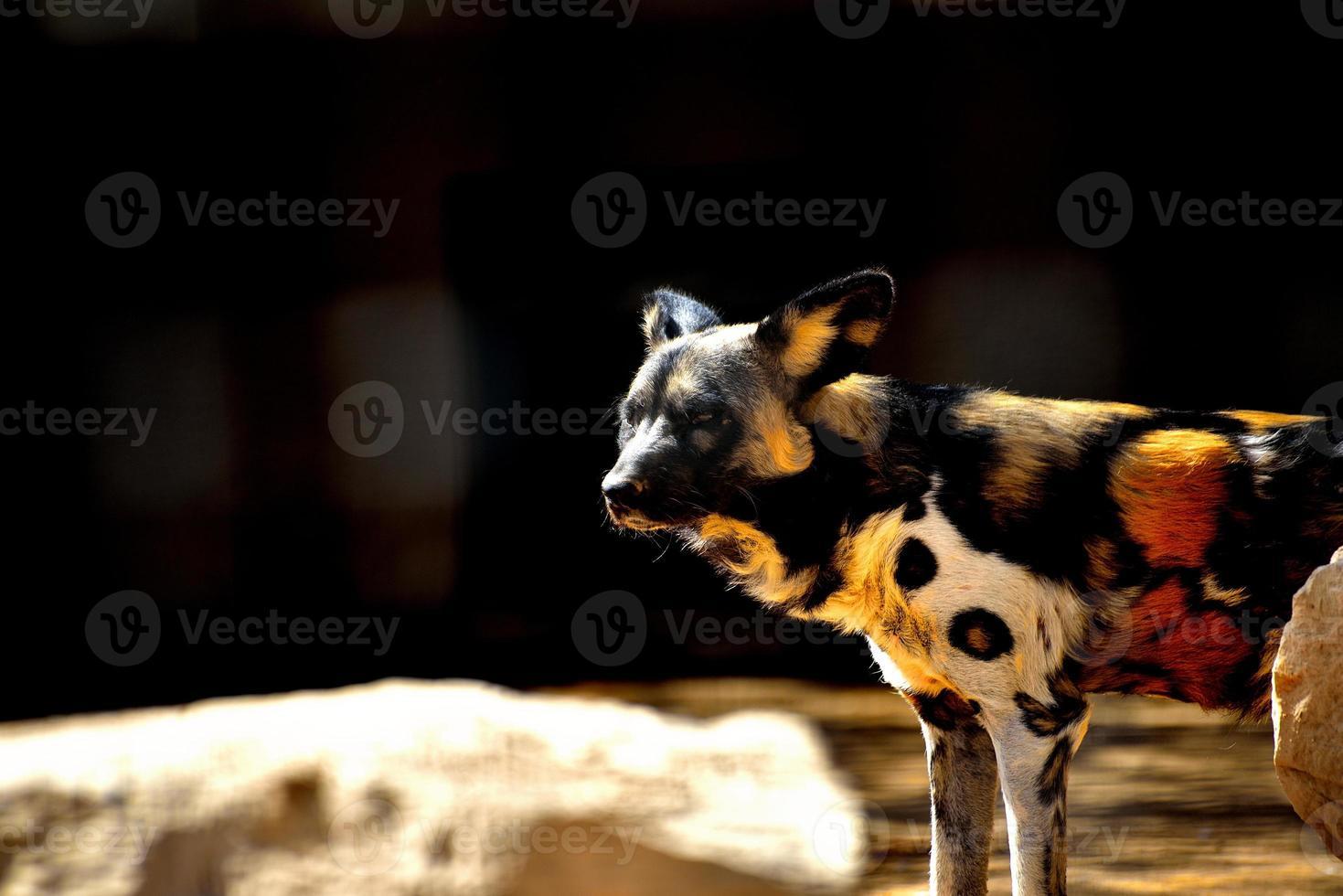 Cão selvagem foto