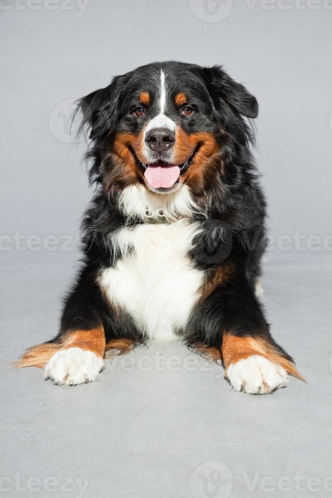 bonito berner sennen cachorro contra um fundo cinza. tiro do estúdio. foto